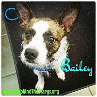 Boston Terrier Dog for adoption in Freeport, New York - Bailey