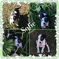 Adopt A Pet :: sofie meet me 10/28 - Manchester, CT
