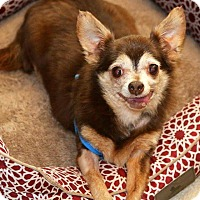 Chihuahua Dog for adoption in Matthews, North Carolina - Dixie