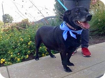 Labrador Retriever Mix Dog for adoption in Brattleboro, Vermont - Elmo