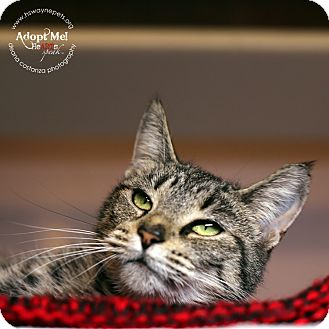 Domestic Shorthair Cat for adoption in Lyons, New York - Lilly