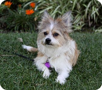Sheltie, Shetland Sheepdog/Terrier (Unknown Type, Small) Mix Dog for adoption in Newport Beach, California - WALKER