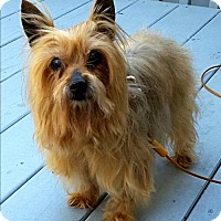 Yorkie, Yorkshire Terrier Dog for adoption in Whiting, New Jersey - Rosie in NJ