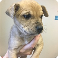 Adopt A Pet :: Hazel - New York, NY