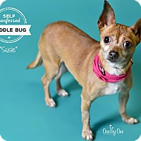 Adopt A Pet :: Susie - Philadelphia, PA
