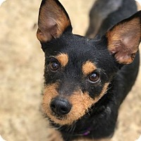 Adopt A Pet :: Rocket - Atlanta, GA