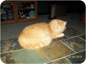 Domestic Mediumhair Cat for adoption in Sheboygan, Wisconsin - Poppy # 2