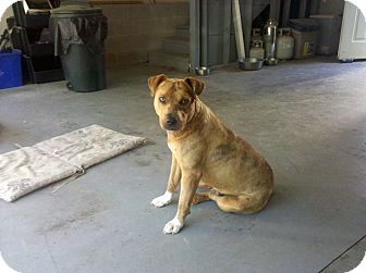 American Pit Bull Terrier Mix Dog for adoption in Nashville, Tennessee - Boots
