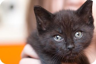 Domestic Shorthair Kitten for adoption in Brooklyn, New York - Brando