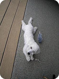 Poodle (Miniature)/Bichon Frise Mix Dog for adoption in Gig Harbor, Washington - Levi