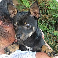 Adopt A Pet :: DASH - Torrance, CA