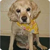 Adopt A Pet :: Ringo - Tacoma, WA