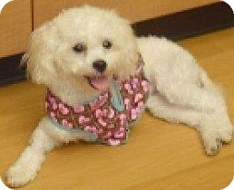 Maltese/Poodle (Miniature) Mix Dog for adoption in Houston, Texas - Chelsea