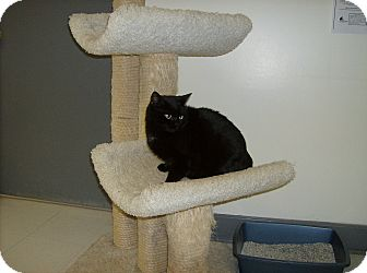 Domestic Shorthair Cat for adoption in Milwaukee, Wisconsin - Katrina