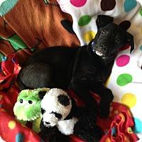 Adopt A Pet :: Lahm - Homewood, AL