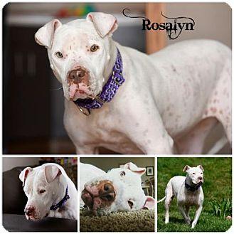 Pit Bull Terrier Dog for adoption in Sioux Falls, South Dakota - Rosalyn