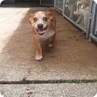 Adopt A Pet :: Ben - Foristell, MO