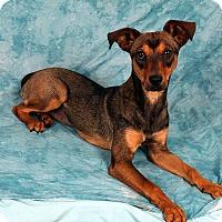 Adopt A Pet :: Annie Terrier Mix - St. Louis, MO