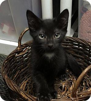 Domestic Mediumhair Cat for adoption in Land O Lakes, Florida - Dakota
