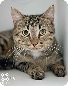 Domestic Shorthair Cat for adoption in Merrifield, Virginia - Billy