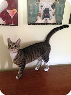 Egyptian Mau Cat for adoption in Albemarle, North Carolina - Julia Grant