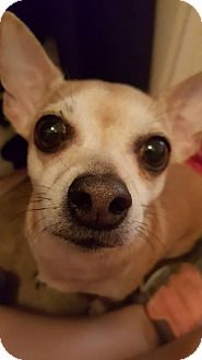 Chihuahua Mix Dog for adoption in Tucson, Arizona - Butters