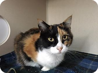 Domestic Shorthair Cat for adoption in Fort Collins, Colorado - Sassafras