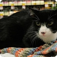 Domestic Shorthair Cat for adoption in Sacramento, California - Winston
