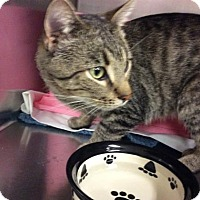 Domestic Shorthair Cat for adoption in Janesville, Wisconsin - Chancey