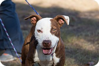 Staffordshire Bull Terrier Mix Dog for adoption in Allen town, Pennsylvania - Rocket