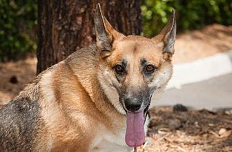 German Shepherd Dog Dog for adoption in Newport Beach, California - Nikki