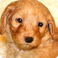 Adopt A Pet :: AUSTIN(OUR MINI-GOLDENDOODLE!! - Wakefield, RI