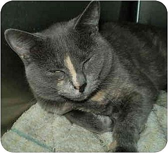 Domestic Shorthair Cat for adoption in San Ramon, California - Katya