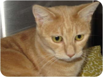 Domestic Shorthair Cat for adoption in Modesto, California - Sandy