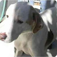 Adopt A Pet :: Katie - Alexandria, VA
