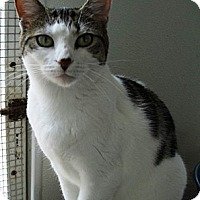 Domestic Shorthair Cat for adoption in Havana, Florida - Gila