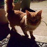Domestic Mediumhair Kitten for adoption in Lyndora, Pennsylvania - Diego