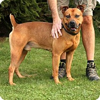 Boxer Mix Dog for adoption in Beckley, West Virginia - Zack