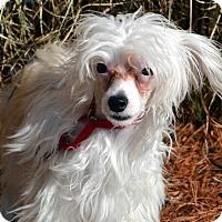 Adopt A Pet :: Gidget-Adoption pending - Bridgeton, MO