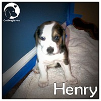 Adopt A Pet :: Henry - Novi, MI