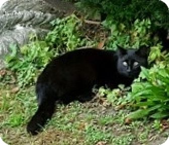 Domestic Shorthair Cat for adoption in Lutherville, Maryland - Blackie