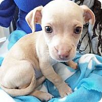 Adopt A Pet :: Garbanzo - San Diego, CA