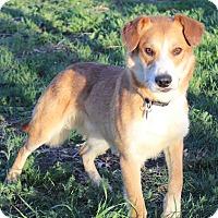 Adopt A Pet :: Scarr - Westminster, CO