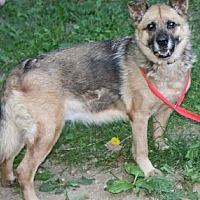 German Shepherd Dog/Collie Mix Dog for adoption in Flintstone, Maryland - Tiffany