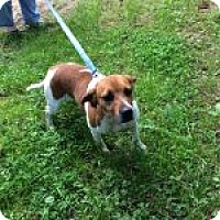 Beagle Mix Dog for adoption in Dumfries, Virginia - Amorie