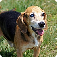 Beagle Mix Dog for adoption in Port Clinton, Ohio - DUDLEY