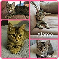 Domestic Shorthair Kitten for adoption in Arlington/Ft Worth, Texas - Alamo