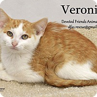 Domestic Shorthair Cat for adoption in Ortonville, Michigan - Vinnie