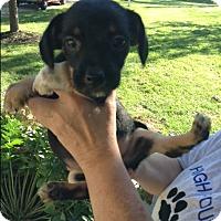 Adopt A Pet :: Tyson - Ashville, OH