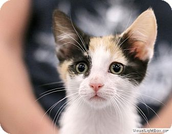 Calico Kitten for adoption in Westchester, California - Molly